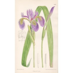 John Nugent Fitch after Matilda Smith, Iris Caroliniana, antique botanical purple flower lithograph print, 1912 found on Bargain Bro India from 1stDibs for $95.00