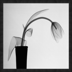 Giclee Tulip Wall Art, Black/White found on Bargain Bro from Ashley Furniture for USD $107.15