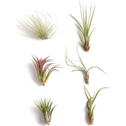 Unique Air Plant (Collection of 6) found on Bargain Bro India from Gilt City for $16.99