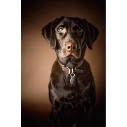 Posterazzi DPI1843951 Chocolate Labrador Retriever - Portrait of A Labrador Poster Print, 12 x 19
