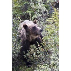 Posterazzi PDDCN01DJO0004 Grizzly Bear in Kootenay National Park Canada Poster Print by Diane Johnson - 17 x 26 in.