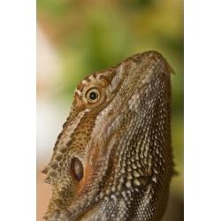 Posterazzi DPI1844613 Bearded Dragon Lizard Poster Print, 12 x 19