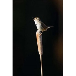 Posterazzi PDDCN02LDI0041 British Columbia Marsh Wren Bird From a Cattail Poster Print by Larry Ditto - 18 x 26 in.