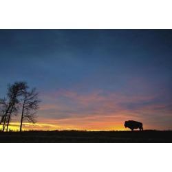 Posterazzi DPI1881246 Buffalo At Sunset In Elk Island National Park - Alberta, Canada Poster Print, 17 x 11