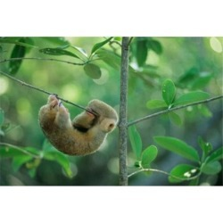 Posterazzi PDDCA43KSC0000 Silky Anteater Wildlife West Indies Trinidad Poster Print by Kevin Schafer - 27 x 18 in.