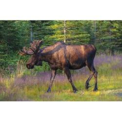 Posterazzi DPI12288665 Bull Moose in Velvet Kincaid Park Anchorage Southcentral Alaska Summer Poster Print by Michael Jones, 18 x 12