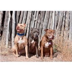 American Pitt Bull Terrier dogs, NM Poster Print by Zandria Muench Beraldo (24 x 17)
