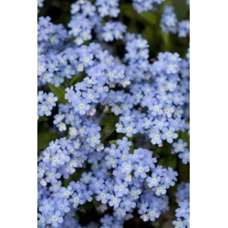 Posterazzi DPI1851583 Victoria British Columbia Canada - Blooming Blue Flowers Poster Print, 12 x 19