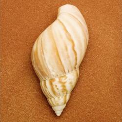 Seashell Poster Print (15 x 15)