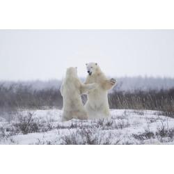 Posterazzi DPI12271068 Polar Bears Ursus Maritimus Sparring in The Snow During Winter Near Churchill - Manitoba Canada Poster Print - 19 x 12 in.