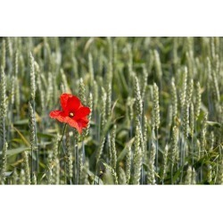 Posterazzi DPI12282586 Close Up of Red Poppy in A Green Wheat Field - Brehec Brittany France Poster Print - 19 x 12 in.