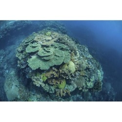 Colorful reef-building corals grow on a reef in the Solomon Islands Poster Print (17 x 11)