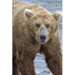 Posterazzi DPI12300679 Close Up Portrait of A Brown Bear Standing in Brooks River Katmai National Park & Preserve Southwest Alaska Poster Print by.