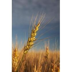 Posterazzi DPI1883408 Ripe Wheat Head At Sunrise - Alberta, Canada Poster Print, 12 x 19