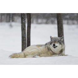 Posterazzi DPI12304039 Grey Wolf Canis Lupus Showing Submission Behaviour - Montebello Quebec Canada Poster Print by Dominic Marcoux, 19 x 12