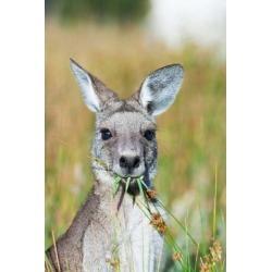 Posterazzi PDDAU01MZW0188 Eastern Grey Kangaroo Eating Australia Poster Print by Martin Zwick - 19 x 29 in.