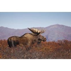Posterazzi DPI12303145 Moose Bull Walking On A Ridge Among Diamond-Leaf Willow Denali National Park & Preserve Interior Alaska Autumn Poster Print.