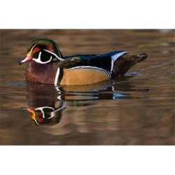 Posterazzi PDDCN02AWO0020 Close Up of Wood Duck British Columbia Canada Poster Print by Art Wolfe - 26 x 18 in.