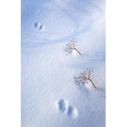 Posterazzi DPI1884111 Animal Footprints In Fresh Snowfall - Hyder, Alaska, USA Poster Print, 12 x 19