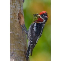 Posterazzi PDDCN02GLU0012 Canada British Columbia Red-Naped Sapsucker Bird Nest Poster Print by Gary Luhm - 18 x 26 in.