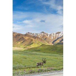 Posterazzi DPI12256270LARGE A Bull Caribou Approaching The Park Road Near Highway Pass in Denali National Park Interior Alaska Print - 24 x 38 in.