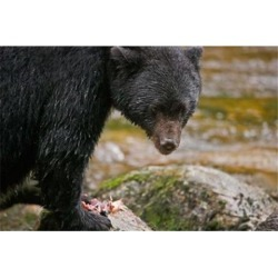 Posterazzi PDDCN02BJA0050 British Columbia Gribbell Island Black Bear Salmon Poster Print by Jaynes Gallery - 26 x 17 in. found on Bargain Bro Philippines from Newegg Canada for $54.82