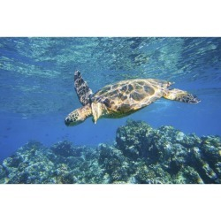 Posterazzi DPI12292205LARGE Green Sea Turtle Swimming in Ocean Sea Poster Print by Design Pics Vibe, 34 x 22 - Large
