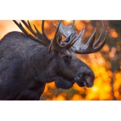 Posterazzi DPI12305277 Close Up of A Bull Moose in Rut in Late Evening Kincaid Park Anchorage Alaska Autumn Poster Print by Michael Jones, 19 x 12