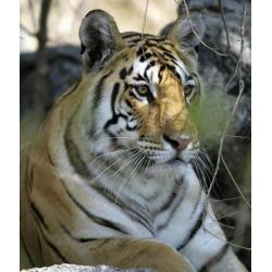Posterazzi DPI1887213 Tiger Sitting Amongst Leaves, Close Up Poster Print, 14 x 16
