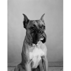 Posterazzi SAL255424730 Close Up of Boxer Dog Poster Print - 18 x 24 in.