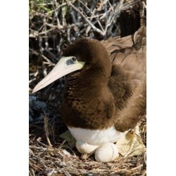 Posterazzi PDDCA42GJO0018 Brown Booby Wildlife Cayman Islands Caribbean Poster Print by Greg Johnston - 18 x 26 in.