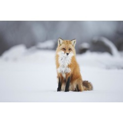 Posterazzi DPI12274957 Male Red Fox Vulpes Vulpes Sitting in The Snow in Winter - Montreal Quebec Canada Poster Print - 19 x 12 in.