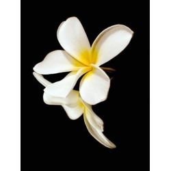 Posterazzi DPI12305829 Close Up of The White Petals of A Tropical Flower On A Black Background - Hawaii United States of America Poster Print by.