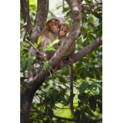 Posterazzi DPI1883531 Two Monkeys In A Tree - Tamil Nadu, India Poster Print, 12 x 19