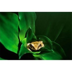 Coqui Frog in Puerto Rico Poster Print by David R. Frazier (35 x 23)