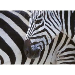 Posterazzi DPI1886287 Zebras Face & Mid Body, Close Up Poster Print, 18 x 13