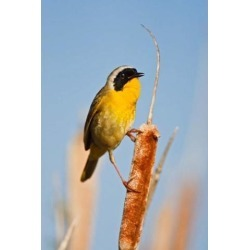 Posterazzi PDDCN02LDI0029 British Columbia Common Yellowthroat Breeding Territory Poster Print by Larry Ditto - 18 x 26 in.