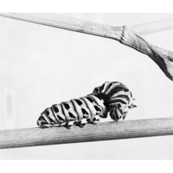 Posterazzi SAL9901769B Close-Up of the Caterpillar of a Swallowtail Butterfly on a Branch Poster Print - 18 x 24 in.