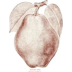 Posterazzi DPI12272557LARGE Historic Illustration of Kieffer Pear From 20th Century Poster Print - 24 x 38 in. - Large