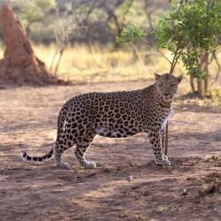 Leopard Poster Print (15 x 15)