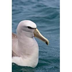 Posterazzi PDDAU02RJA0014 New Zealand South Island Salvins Albatross Poster Print by Rebecca Jackrel - 18 x 26 in.
