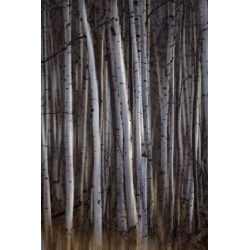 Posterazzi DPI12290225 Forest of Birch Trees - Alberta Canada Poster Print by Ron Harris, 12 x 19