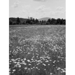Posterazzi SAL255424018 USA Maine Locks Mills Daisy Field Poster Print - 18 x 24 in.