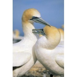 Posterazzi PDDAU02KSC0029 Pair of Gannet Tropical Birds Cape Kidnappers New Zealand Poster Print by Kevin Schafer - 18 x 27 in.