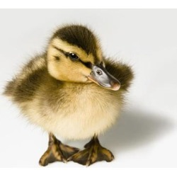 Duckling Poster Print (15 x 15)