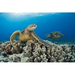 Posterazzi DPI12254714 Green Sea Turtles Chelonia Mydas An Endangered Species - Maui Hawaii United States of America Poster Print - 19 x 12 in.