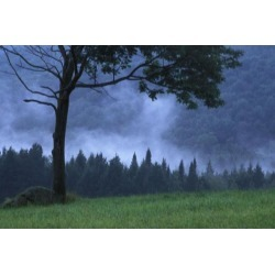 Posterazzi DPI1773403 Coniferous Trees Early in The Morning Poster Print by David Chapman, 17 x 11