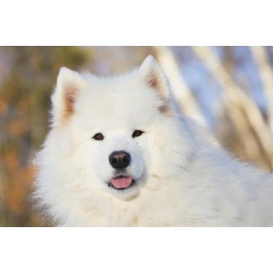 Posterazzi DPI12253112 Portrait of Samoyed Dog in The Snow - Ledyard Connecticut USA Poster Print - 19 x 12 in.
