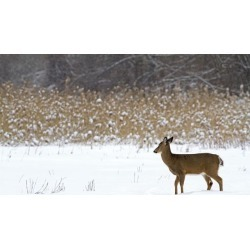 Posterazzi DPI12254755 White-Tailed Deer Odocoileus Virginianus Standing in Snow in Winter - Quebec Canada Poster Print - 19 x 12 in.