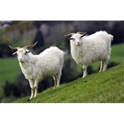 Posterazzi PDDAU02DWA0228 Pair of Goats Taieri South Island New Zealand Poster Print by David Wall - 26 x 17 in. found on Bargain Bro Philippines from Newegg Canada for $52.09